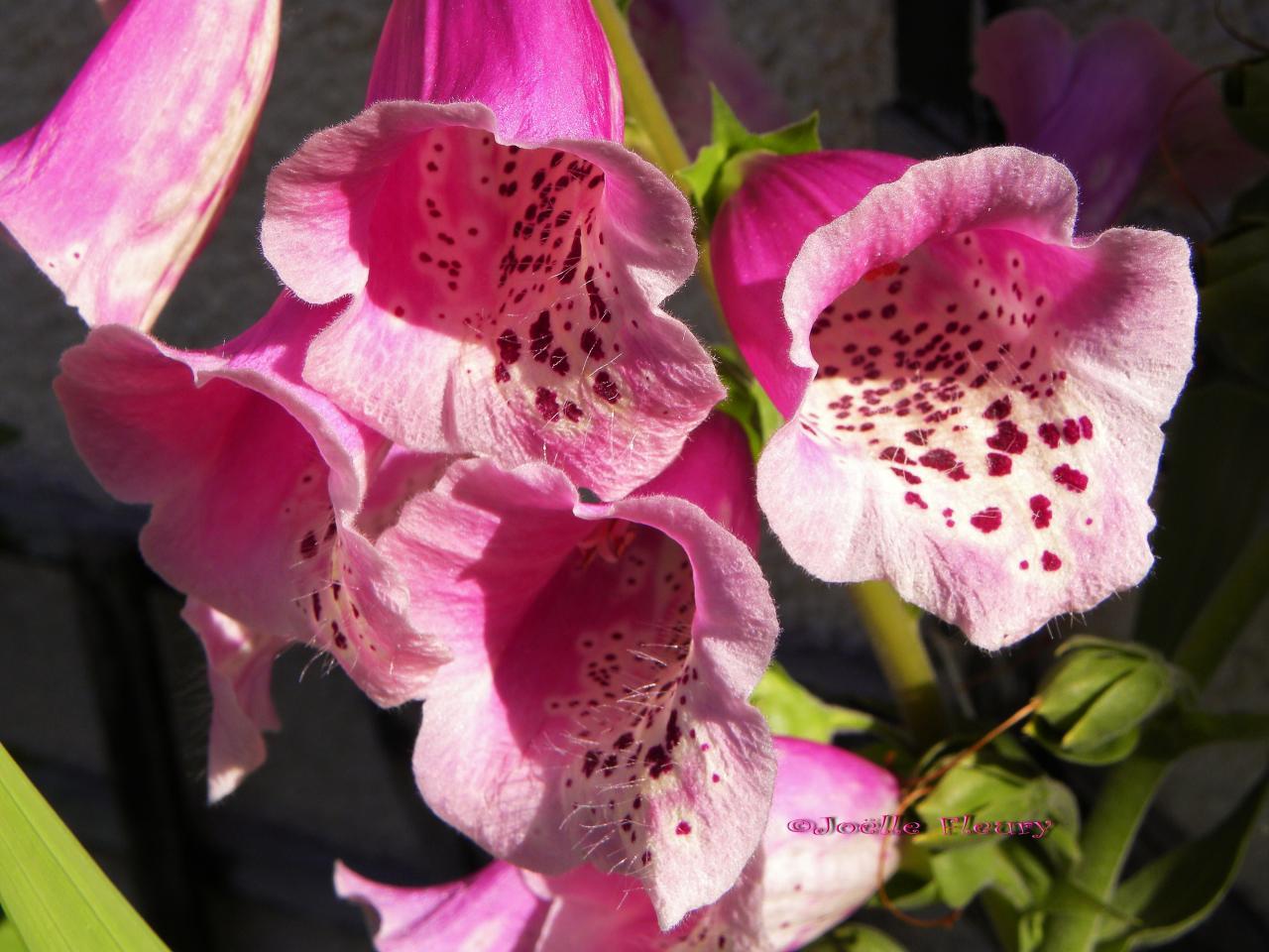 Digitale superbe fleur qui cachent un poison la digitaline - Fleur de poison ...